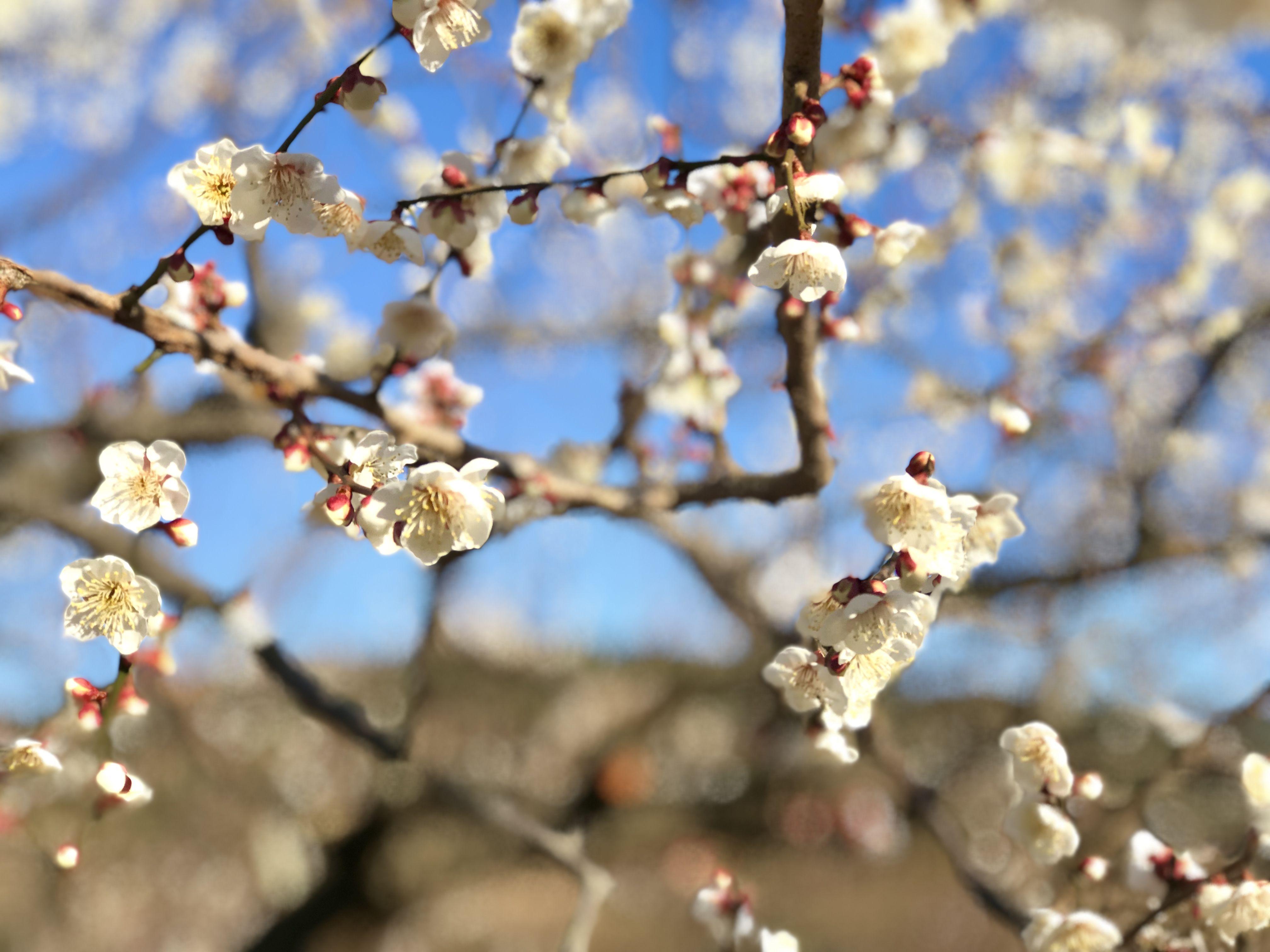 春が待ち遠しい。梅