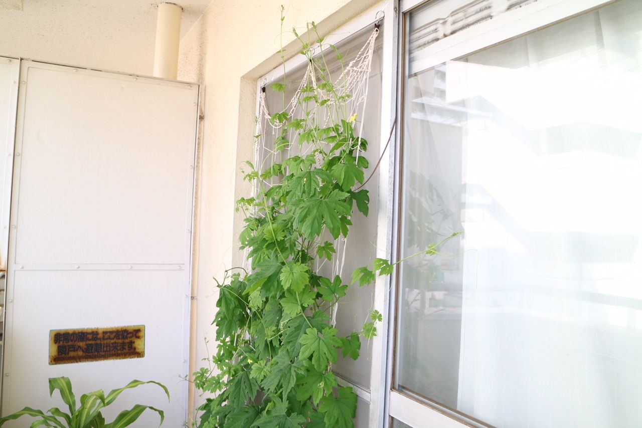 築古リノベで暮らしを楽しむ。ゴーヤで緑のカーテン!
