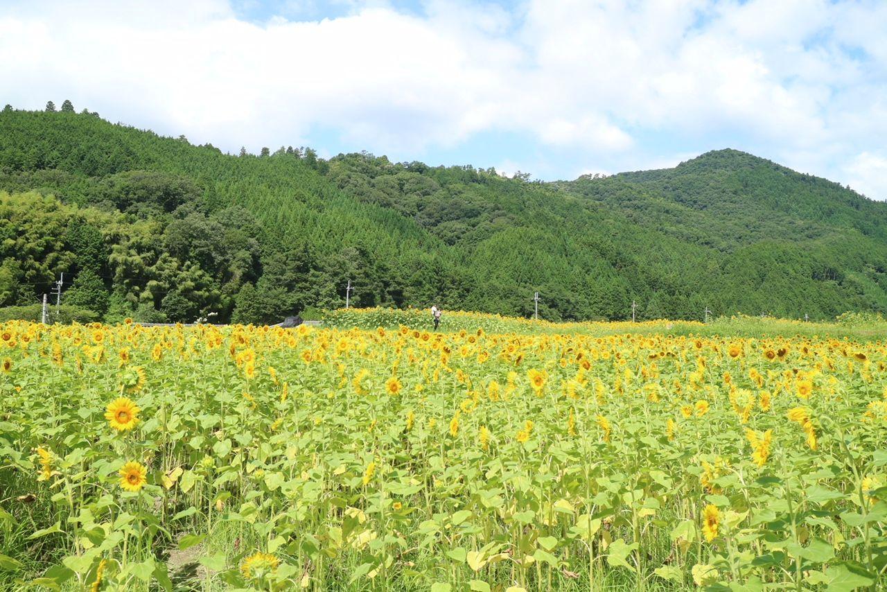 兵庫県佐用町のひまわり畑