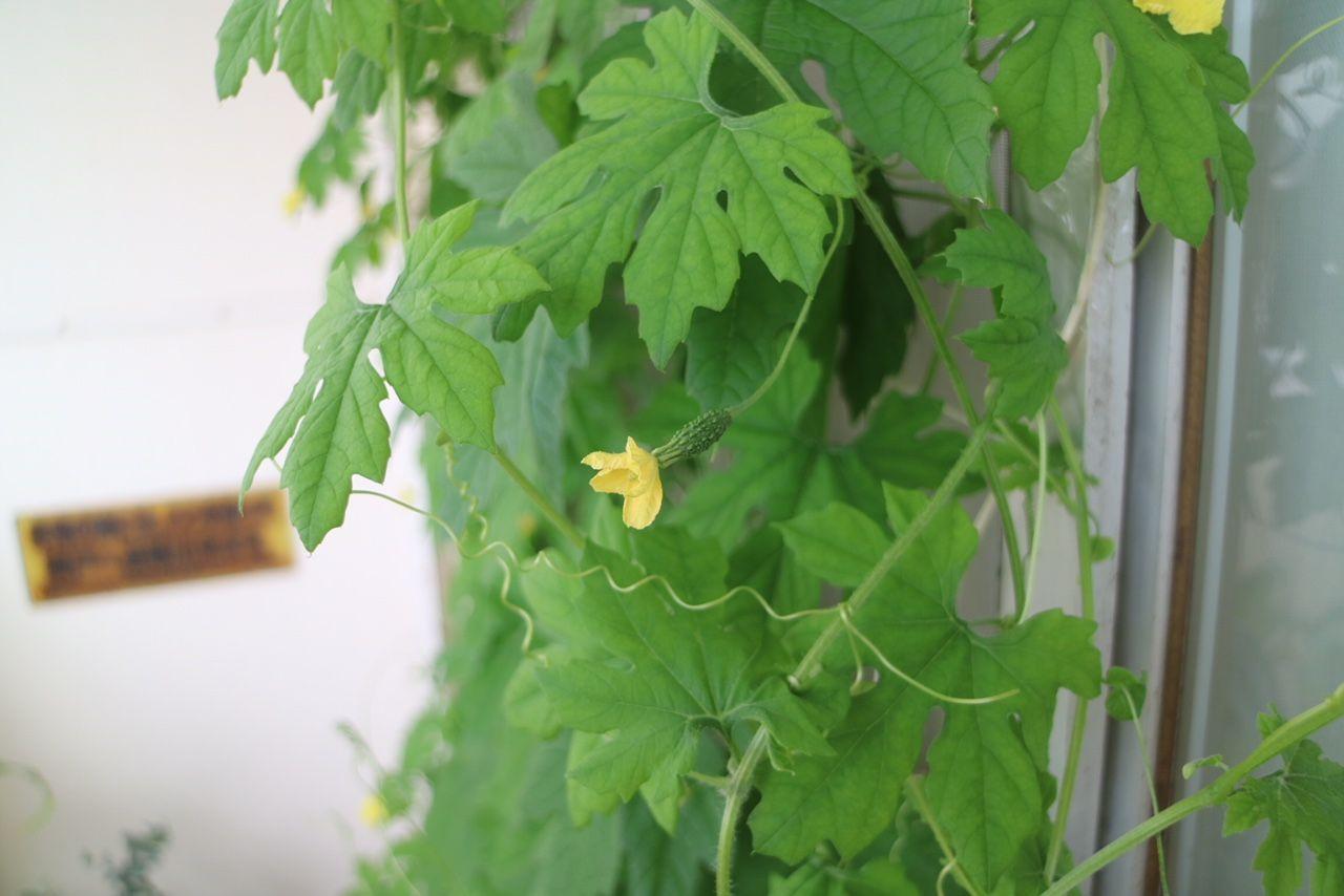 ベランダで家庭菜園。ゴーヤ小さなゴーヤの実、大きくなりますように…!
