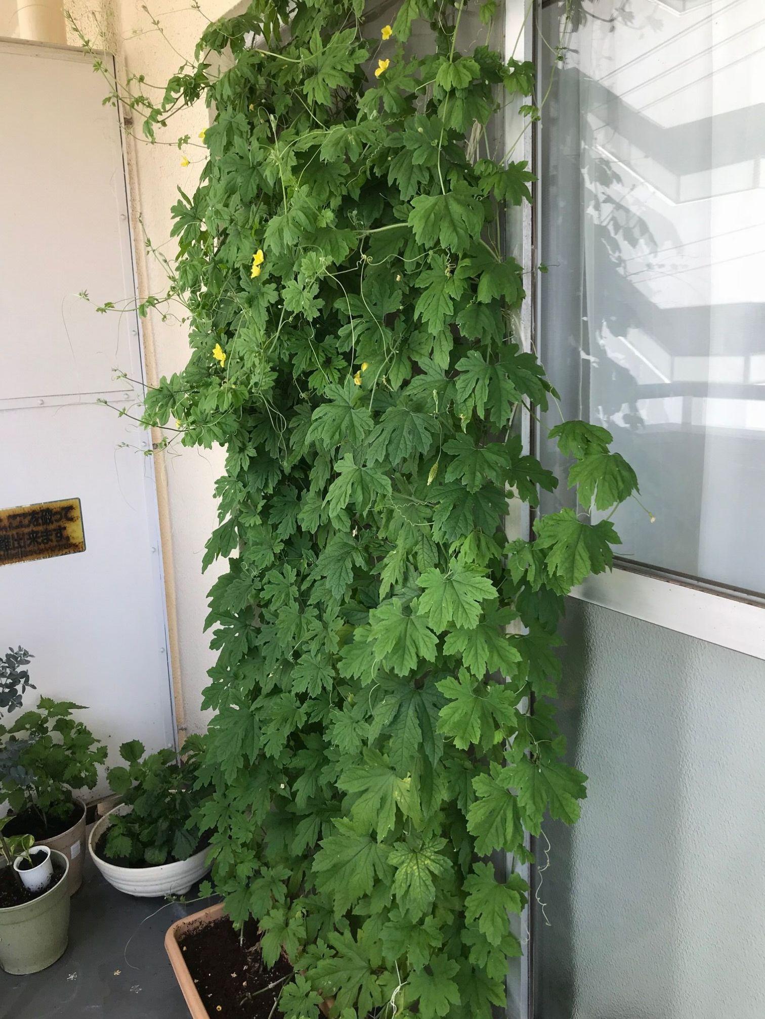 築古リノベマンションで家庭菜園。ゴーヤの緑のカーテンできました!